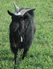 Hugo the Goat
