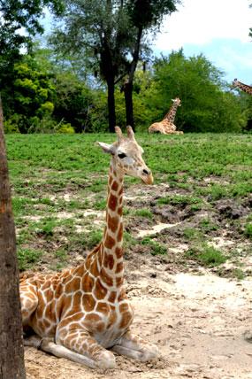 busch-gardens-giraffe-sitting