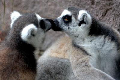 busch-gardens-lemurs-kissing
