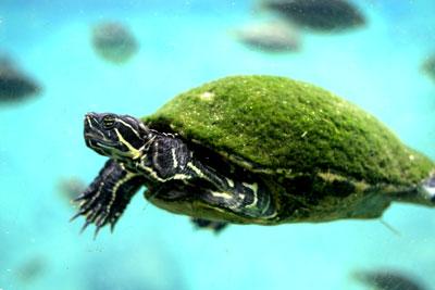 busch-gardens-turtle-swimming