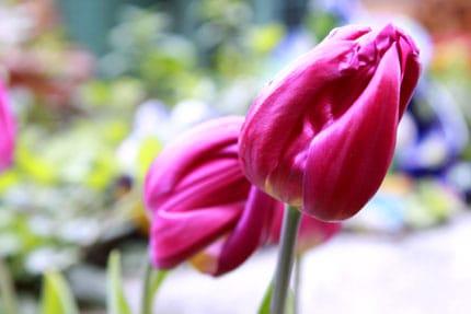tulip-in-march