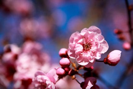 Wordless Wednesday - Cherry Blossoms