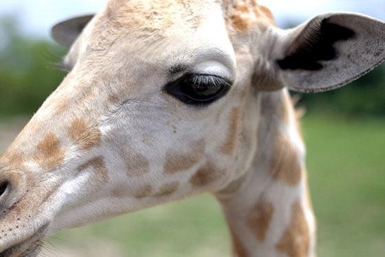 Baby Giraffe - shot w a Canon 50mm lens