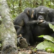 Disneynature's CHIMPANZEE – Behind the Making of the Movie