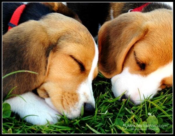 puppies-beagle-king-charles-mix
