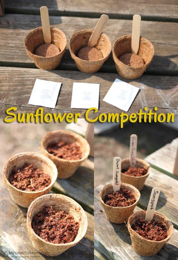 Karma Kiss Sunflower Competition