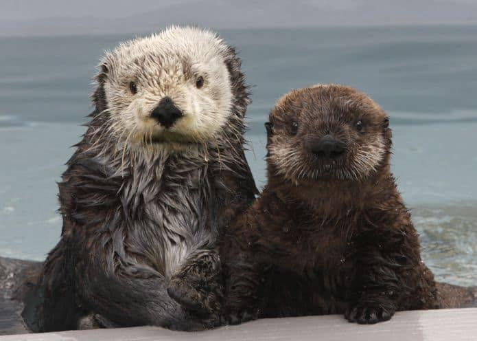 Sea otters are a visitor favorite at the Monterey Bay Aquarium. © Monterey Bay Aquarium
