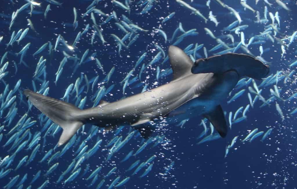 Hammerhead Shark at Monterey Bay Aquarium