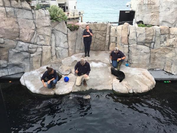 Monterey Bay Aquarium Backstage Sea Otter Training in action