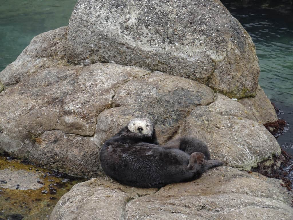 Monterey Bay Aquarium Baby Otter