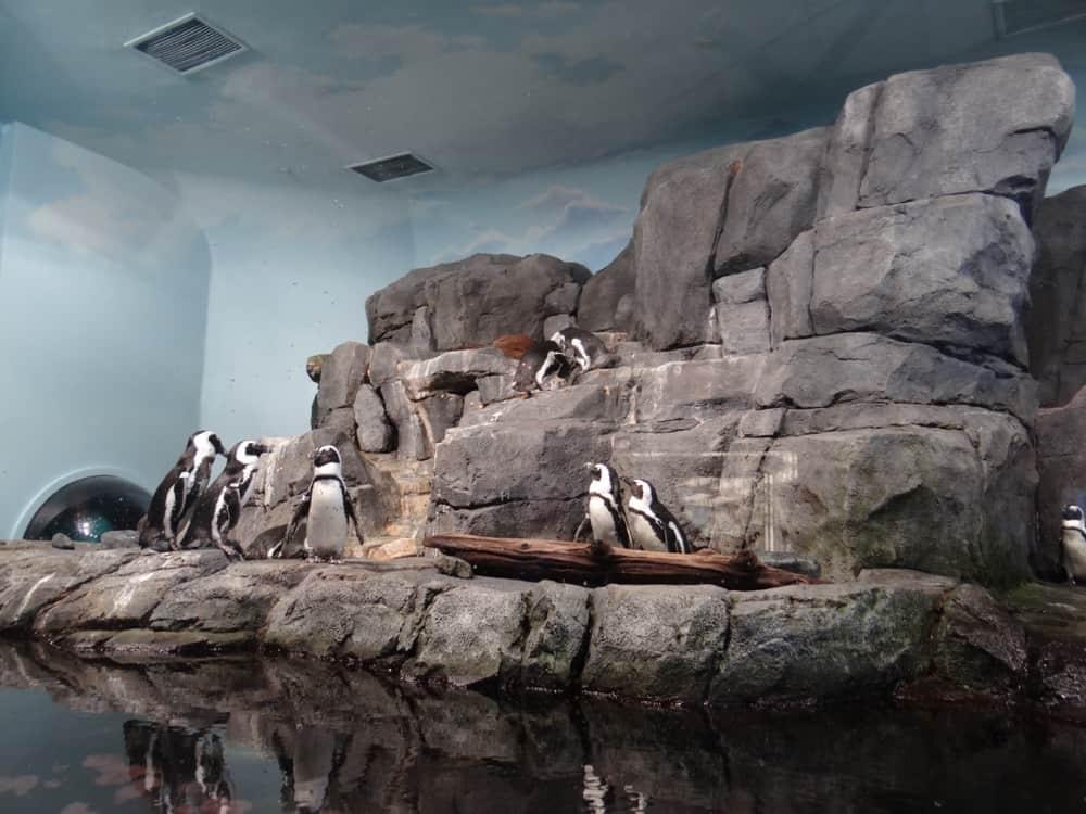 Monterey Bay Aquarium Penguins