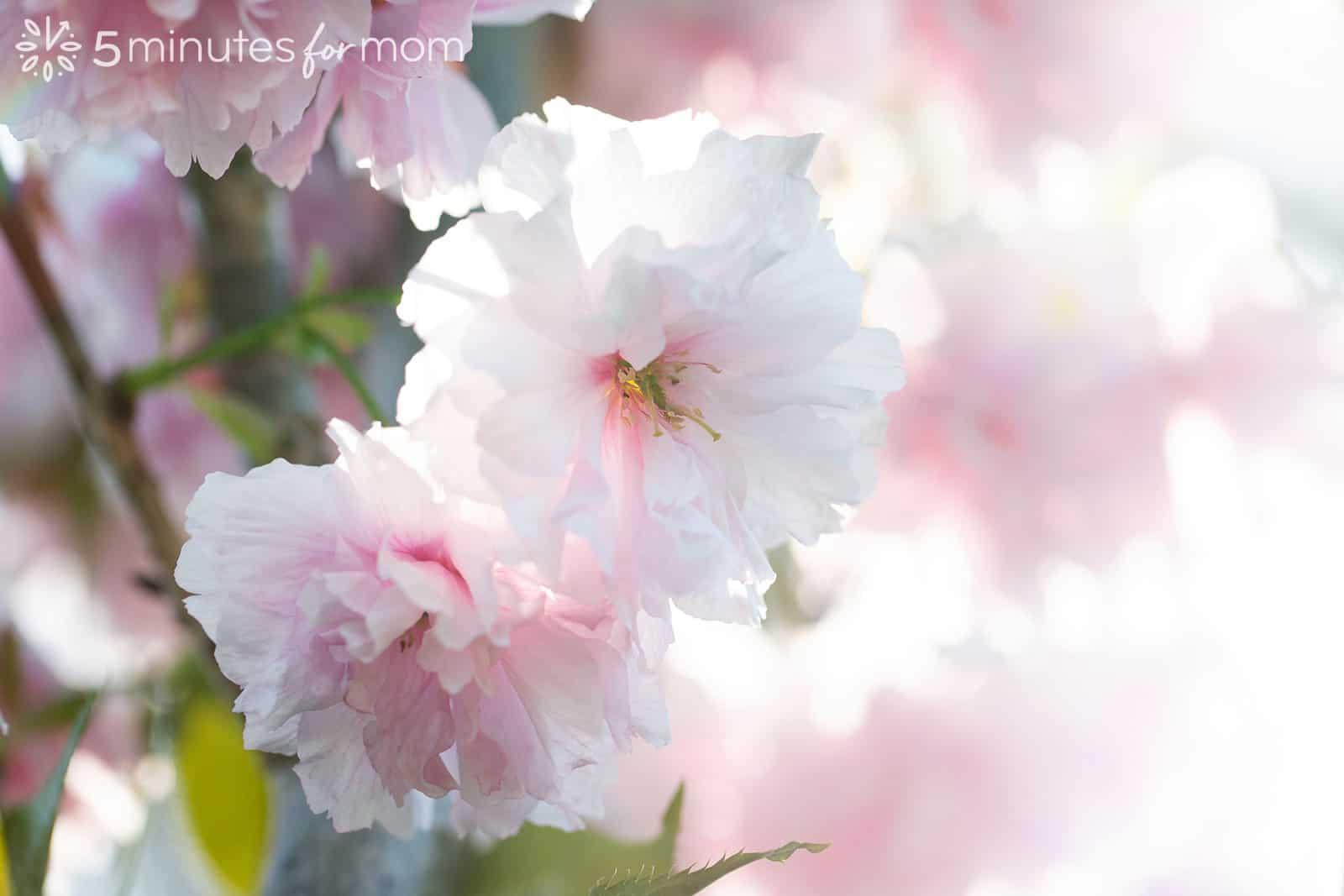 cherry blossoms backlit in sunshine