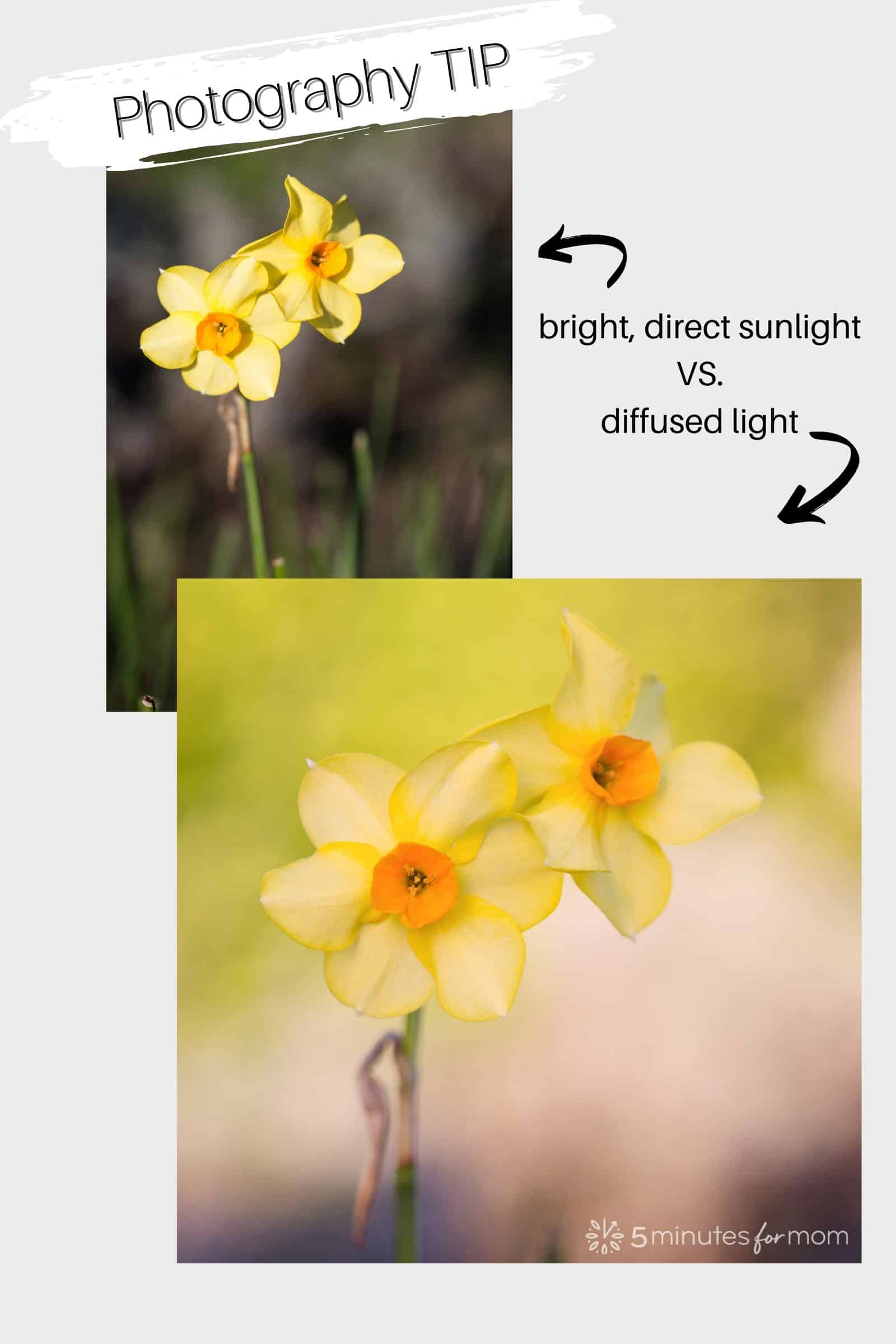 photo of daffodils demonstrating direct sunlight vs diffused light