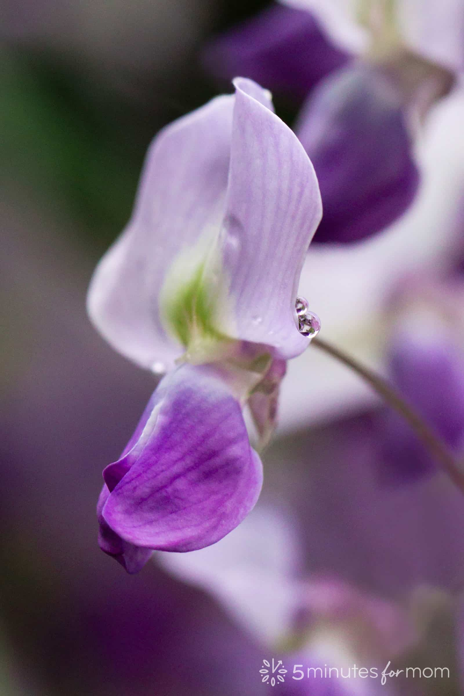 wisteria blossom in how to photograph flowers tutorial