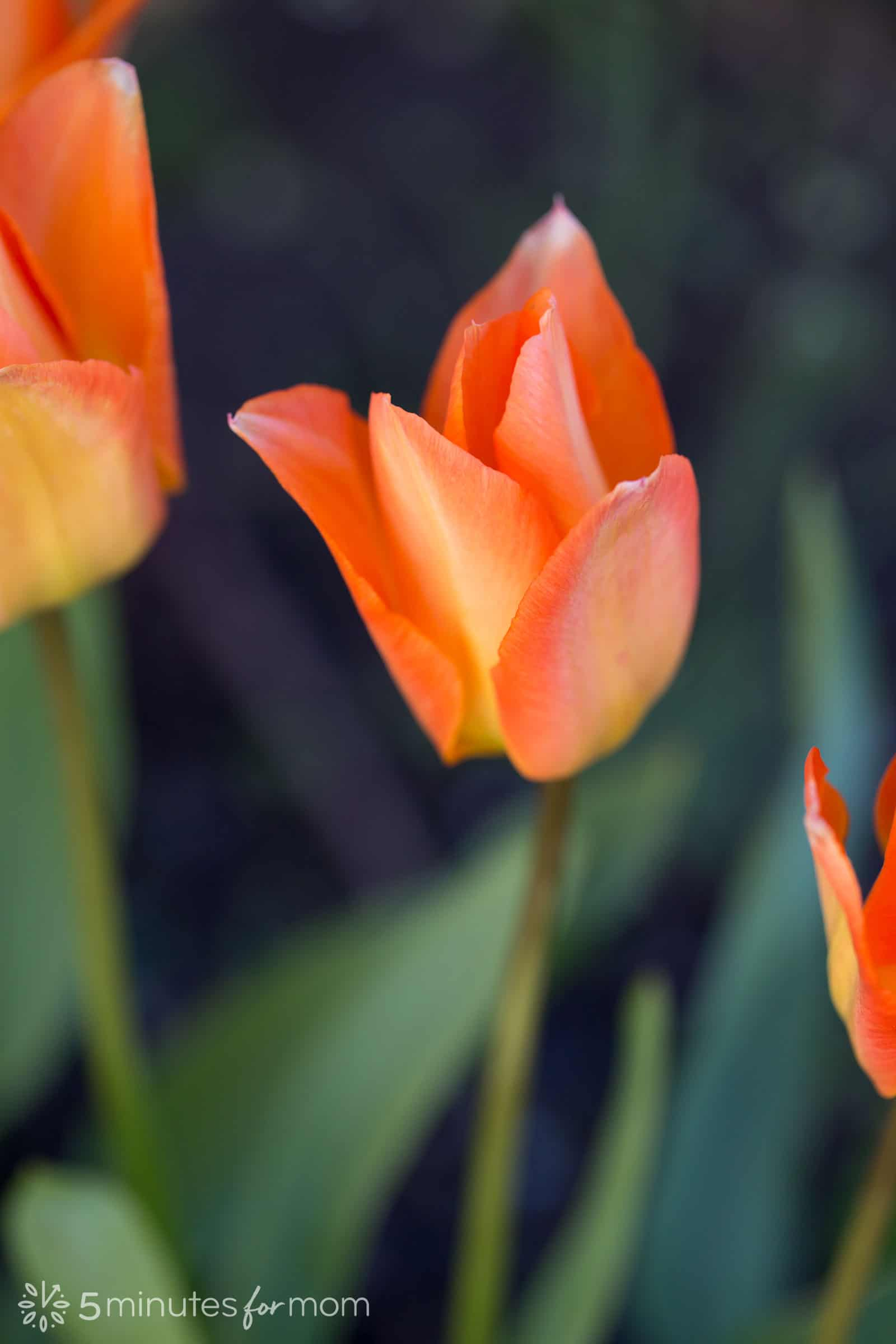 tulip photographed with wide aperture and shallow depth of field