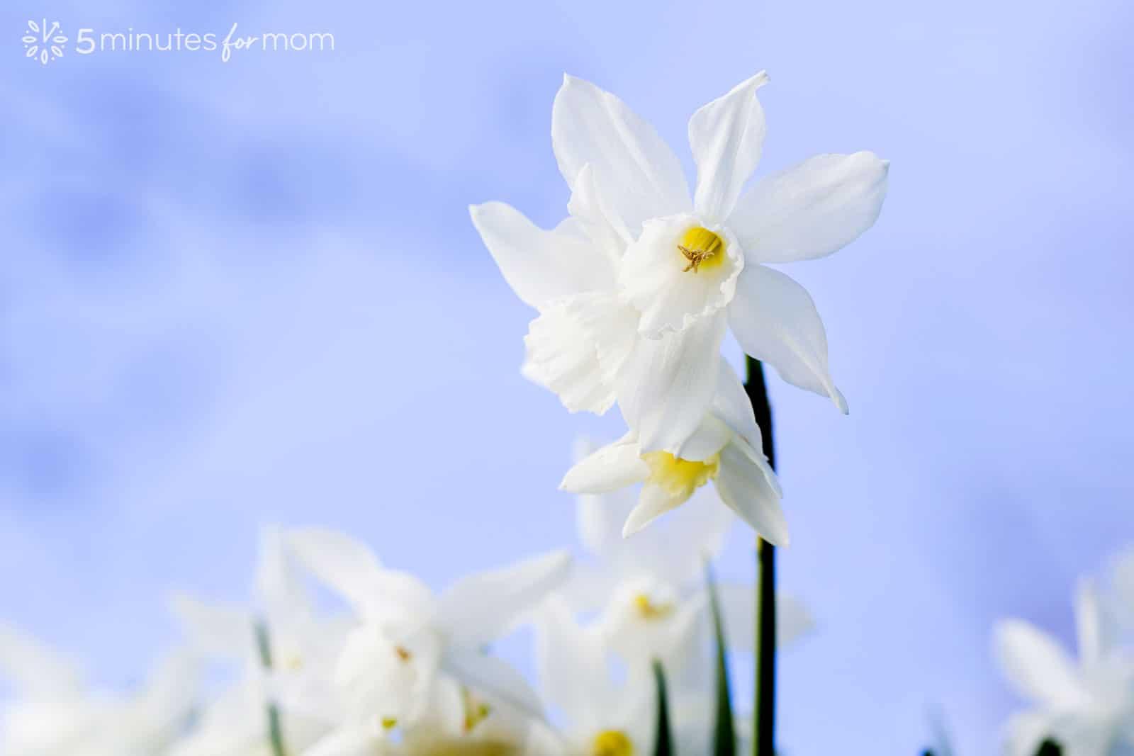 white daffodils against blue sky