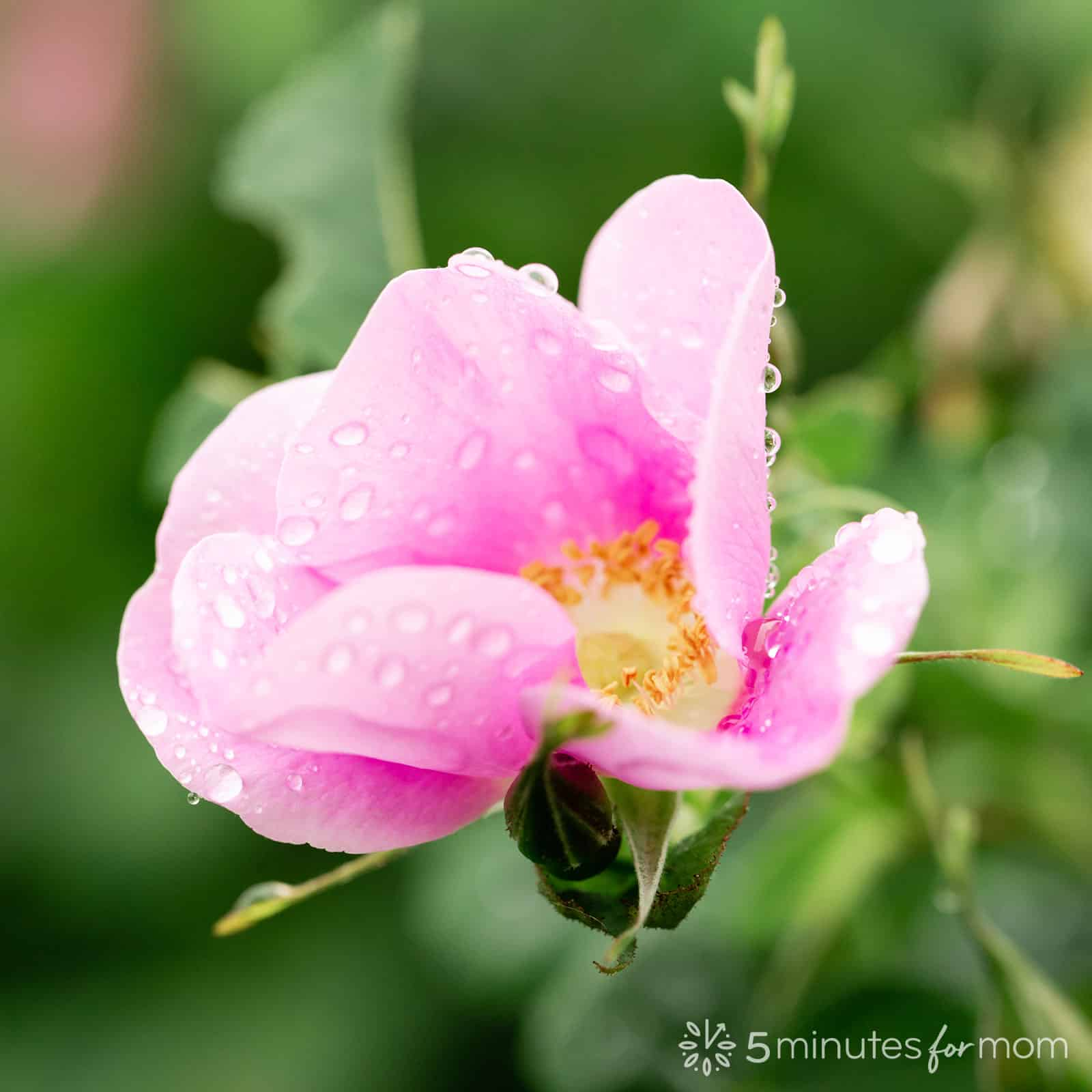 wild rose with raindrops - photography tutorial